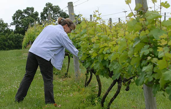 Joanne Levengood inspects her grapes
