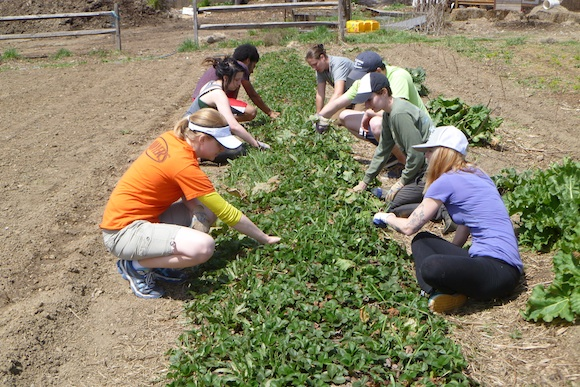 Volunteers weeding the strawberry bed at Braddock Farms