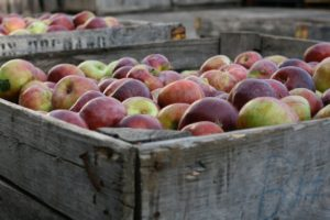 Apples at Frecon Farms in Boyertown
